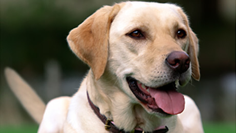 Yellow labrador with tongue out