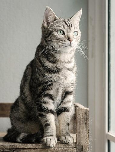 Ράτσες καθαρόαιμων γατών. Μια γκρι γάτα κάθεται σε έναν ξύλινο πάγκο