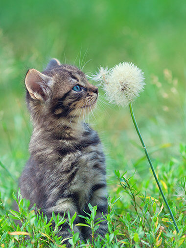 b4b3a58d08e6 Kitten sitting in grass touching dandelion with its nose