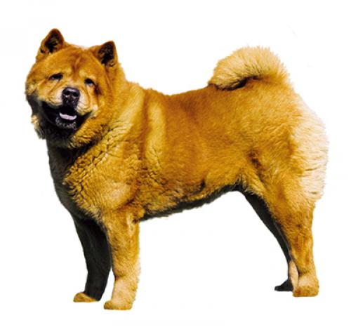 Chow Chow (Smooth)