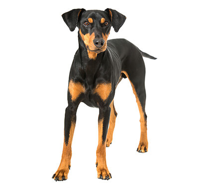 Pinscher (German)