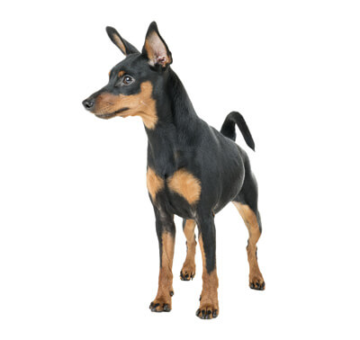 Pinscher Miniature