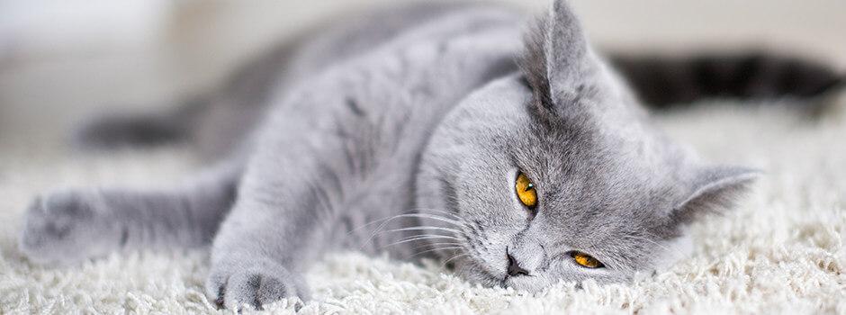 6c339afebf12 Αποκτώντας Μια Γάτα