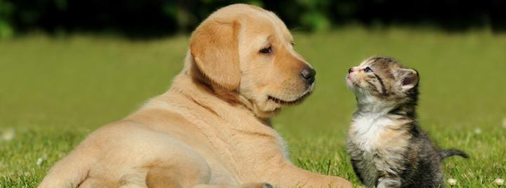 Yellow retriever puppy sitting in grass with kitten