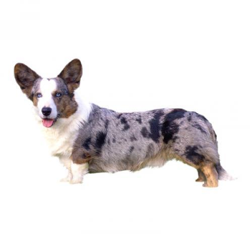 Welsh Corgi (Cardigan) (Medium/long coat)